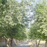 قطع باقی مانده درختان کوچه باغ و درددل یکی از اهالی
