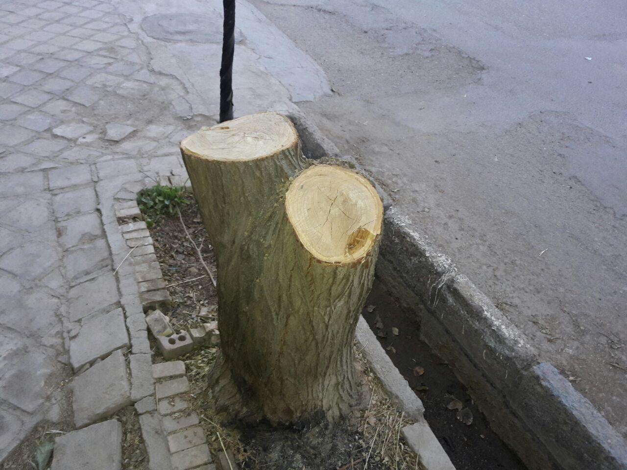 باز هم قطع درخت در بیلند اما اینبار با نظارت کامل دهیاری